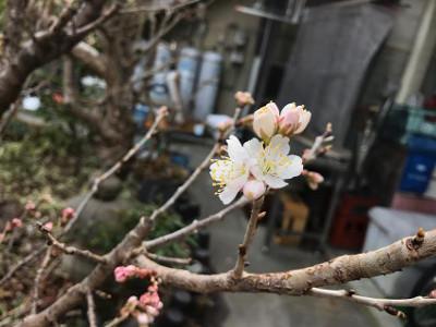 開花・サクランボの木