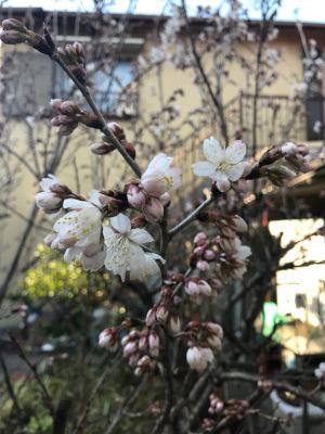 我が家のサクランボの木・開花