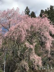 瑞龍寺枝垂れ桜・稲武