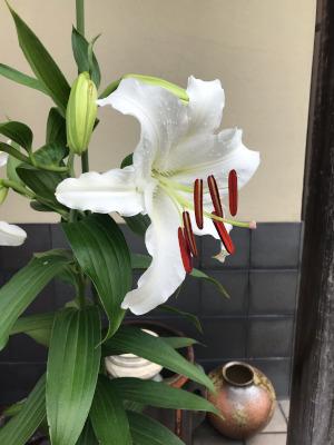 カサブランカ開花!