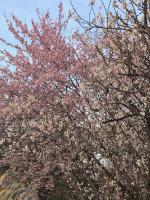 堤防の早咲き桜