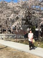 行福寺のしだれ桜