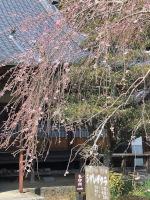 高月院のしだれ桜
