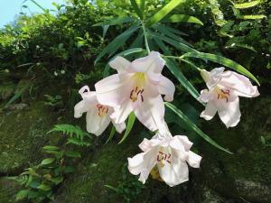 ササユリ(松平郷にて)