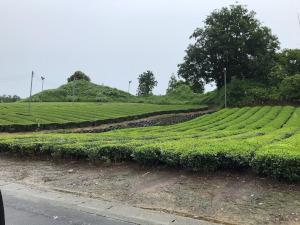 一面の茶畑・菊川
