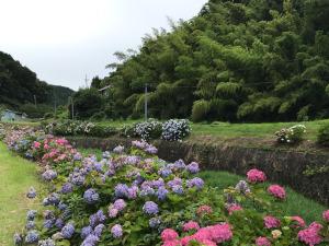 川を彩る、伊平の紫陽花(引佐・いなさ)