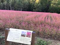 赤そば畑(マルス蒸留所近く)