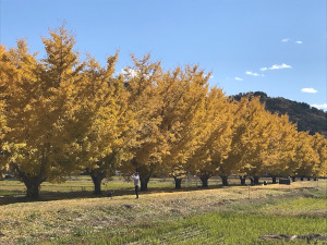 中川村(長野県)のイチョウ並木