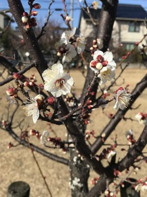 咲き始めた白梅・南公園にて