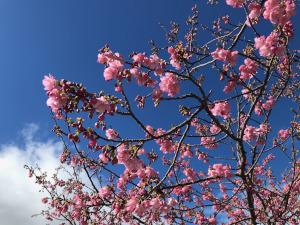 河津桜(渥美半島にて)