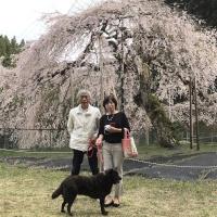 八橋のウバヒガン桜(設楽町)