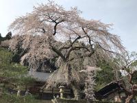 慶泉寺のしだれ桜(東栄町)