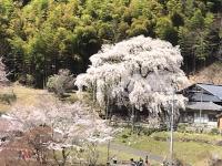 大安寺のしだれ桜(稲武町)