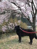 名倉川・清水のコヒガンザクラとシャリ