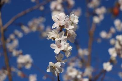 四季桜・柳川瀬公園