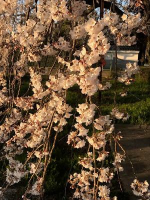 行福寺しだれ桜