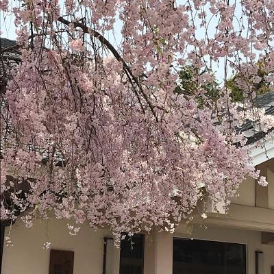 真宮神社・しだれ桜