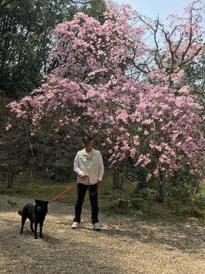 天下茶屋・しだれ桜