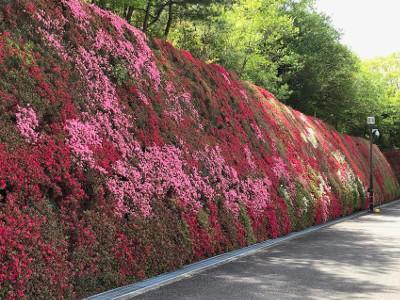 壁一面のキリシマツツジ・トヨタつどいの丘研修センタ-