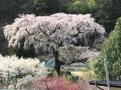 黒船桜・阿智村
