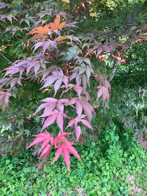夏紅葉のモミジ