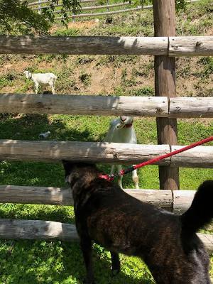 シャリとヤギ
