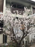 裏庭のサクランボの木・満開