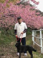 渥美半島で河津桜