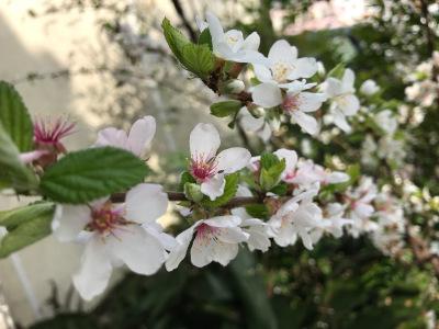ユスラウメの花・裏庭