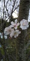 季節外れの桜(岡崎市にて)