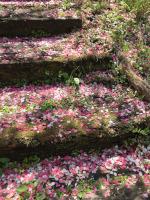 しだれ桃の花びら